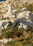 Seagull near its nest Royalty Free Stock Photo