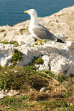 Seagull near its nest with three eggs Royalty Free Stock Image