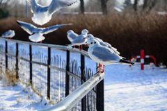 Seagull near the lake. In winter Stock Images