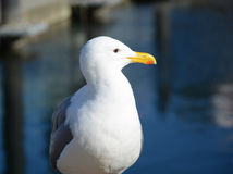 Seagull near the ocean. White seagull on the background of ocean Royalty Free Stock Image