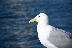 Seagull near the ocean. White seagull on the background of ocean Royalty Free Stock Photos