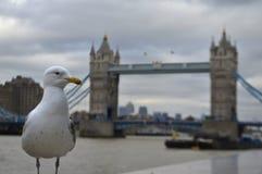 Seagull near Towerbridge Stock Photos