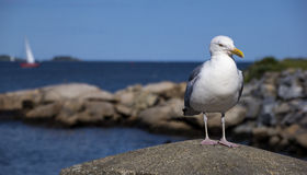 Seagull near the water. Seagull is resting at the beach Royalty Free Stock Photos