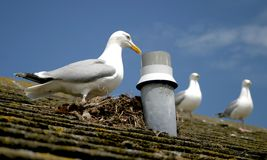 Seagull & nest. Seagull that has built a nest on house roof stock images