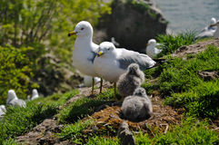 Seagull nest and chicks stock photography