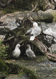 Seagull Nest Stock Photography