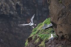 Seagull nest on the cliff in Mykines Royalty Free Stock Image