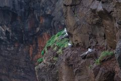 Seagull nest on the cliff in Mykines Stock Image