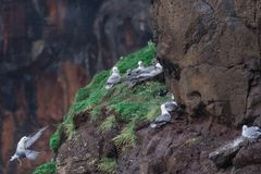 Seagull nest on the cliff in Mykines Stock Photography