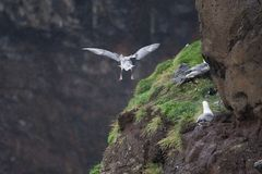 Seagull nest on the cliff in Mykines Royalty Free Stock Images