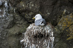 Seagull in nest on Mykines Stock Photography