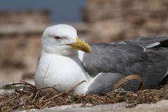 Seagull in the nest Royalty Free Stock Photography