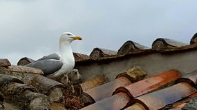 Seagull on nest Stock Images