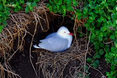 Seagull Nest Royalty Free Stock Images