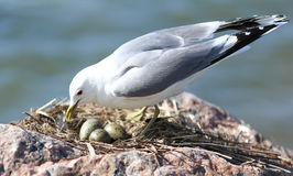 Seagull Nesting Royalty Free Stock Photography