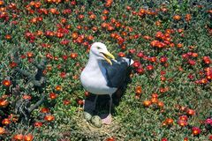 Seagull nesting with eggs, Anacapa, Channel Islands National Park, CA Royalty Free Stock Photo