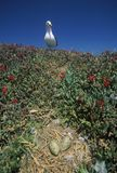 Seagull nesting with eggs, Anacapa, Channel Islands National Park, CA Royalty Free Stock Image