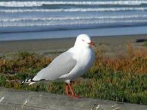 Seagull at New Brighton, Chch, Nz Stock Photo
