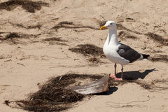Seagull next to a piece of driftwood. At Refugio State Beach California Royalty Free Stock Photos