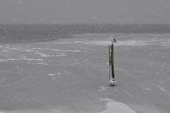 seagull śnieg Fotografia Stock