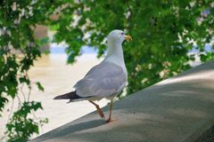 Seagull with no fear stock photography