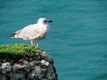 The seagull in Normandie. France Royalty Free Stock Image