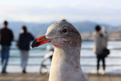 Seagull observer. Seagull on pier scoping out the chances of getting food from nice people who are now ignoring him Stock Photos