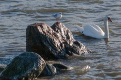 Seagull observes swan swimming by Stock Photos