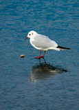 Seagull Observing Stone On Frozen Lake Stock Photo