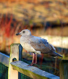 Seagull obsiadanie na ogrodzeniu Fotografia Stock