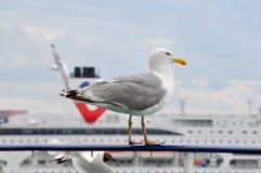 Seagull obsiadanie Na promu poręczu Zdjęcia Stock