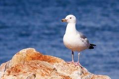 Seagull obsiadanie na skale Obrazy Royalty Free