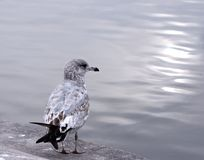 Seagull and ocean. Seagull near water Stock Photo