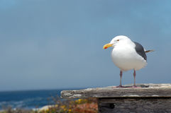 Seagull by ocean Royalty Free Stock Images