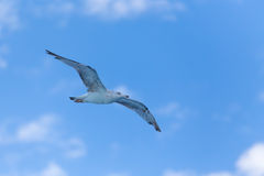 Seagull at the ocean Royalty Free Stock Photography