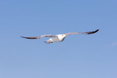 Seagull at the ocean Stock Photography
