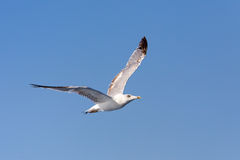 Seagull at the ocean Royalty Free Stock Images