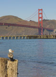 Seagull with Ocean and Golden Gate Bridge Royalty Free Stock Image