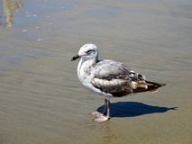 Seagull on ocean grey beach royalty free stock photography