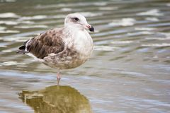 Brown seagull standing on one leg at the ocean. Seagull at the ocean. Medium to large bird with a squawking call, long bill and webbed feet. Scavenger, coastal stock image