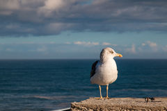 Seagull and the ocean Royalty Free Stock Photography