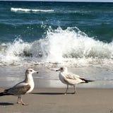Seagull ocean strut Stock Images