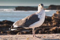 Seagull and the Ocean Royalty Free Stock Photo