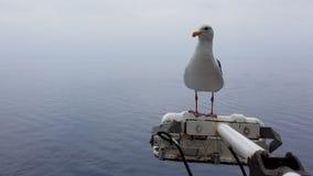 Seagull oceanem zdjęcie royalty free