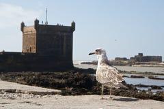 Seagull och befästningar av port av Essaouira, Marocko Fotografering för Bildbyråer