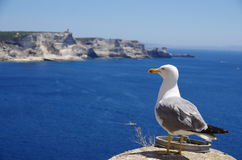 Seagull och de vita klipporna av Bonifacio, Korsika royaltyfria foton
