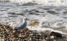 Seagull och en kust Arkivfoto