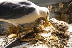 Seagull och fågelungar Royaltyfri Fotografi