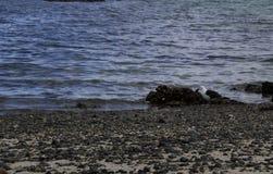 Seagull och fisk Arkivbilder