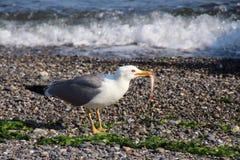Seagull och fisken Royaltyfri Bild